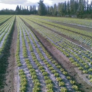 Paillage salade 2m00